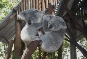 Koalas, Lone Pine Koala Sanctuary